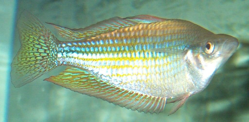 Australian Rainbowfish Fabled Fish