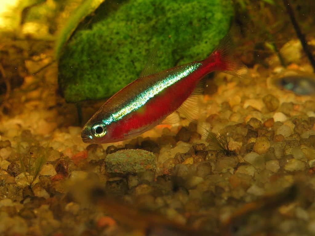 Cardinal tetra fish