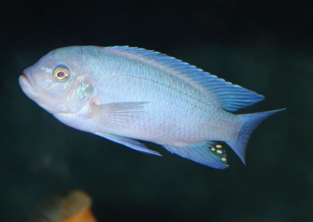 Blue freshwater fish fabled fish for Blue freshwater fish