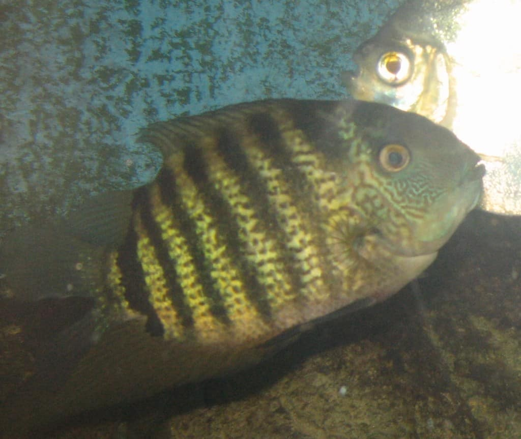 Severum fabled fish for Do betta fish sleep on the bottom of the tank