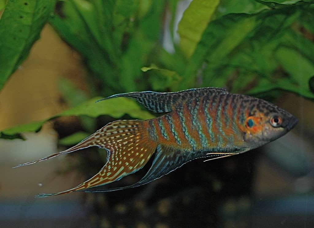 Paradise Fish Fabled Fish