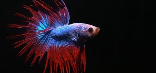 Fabled fish for Betta fish sleeping